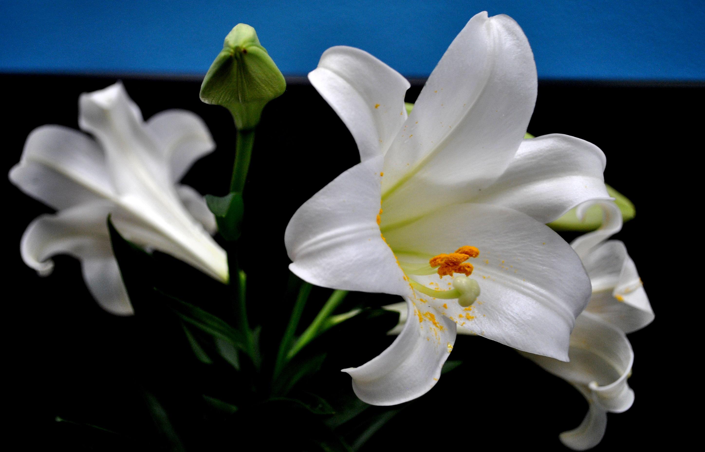 Hoa huệ trắng nở bung cực đẹp