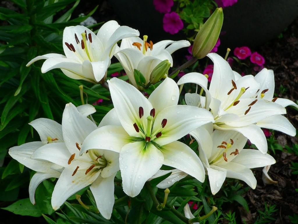 Hoa huệ trắng nở rộ đẹp