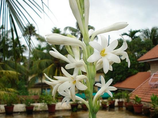 Hoa huệ trắng quê em cực đẹp
