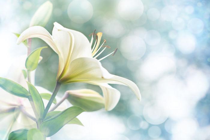 Hoa huệ trắng rất đẹp