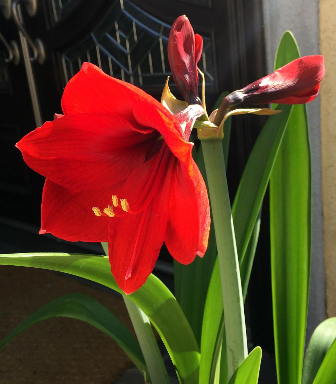 Hoa kèn đỏ cực đẹp