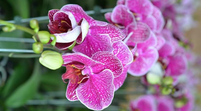 Hoa lan tím đẹp mắt
