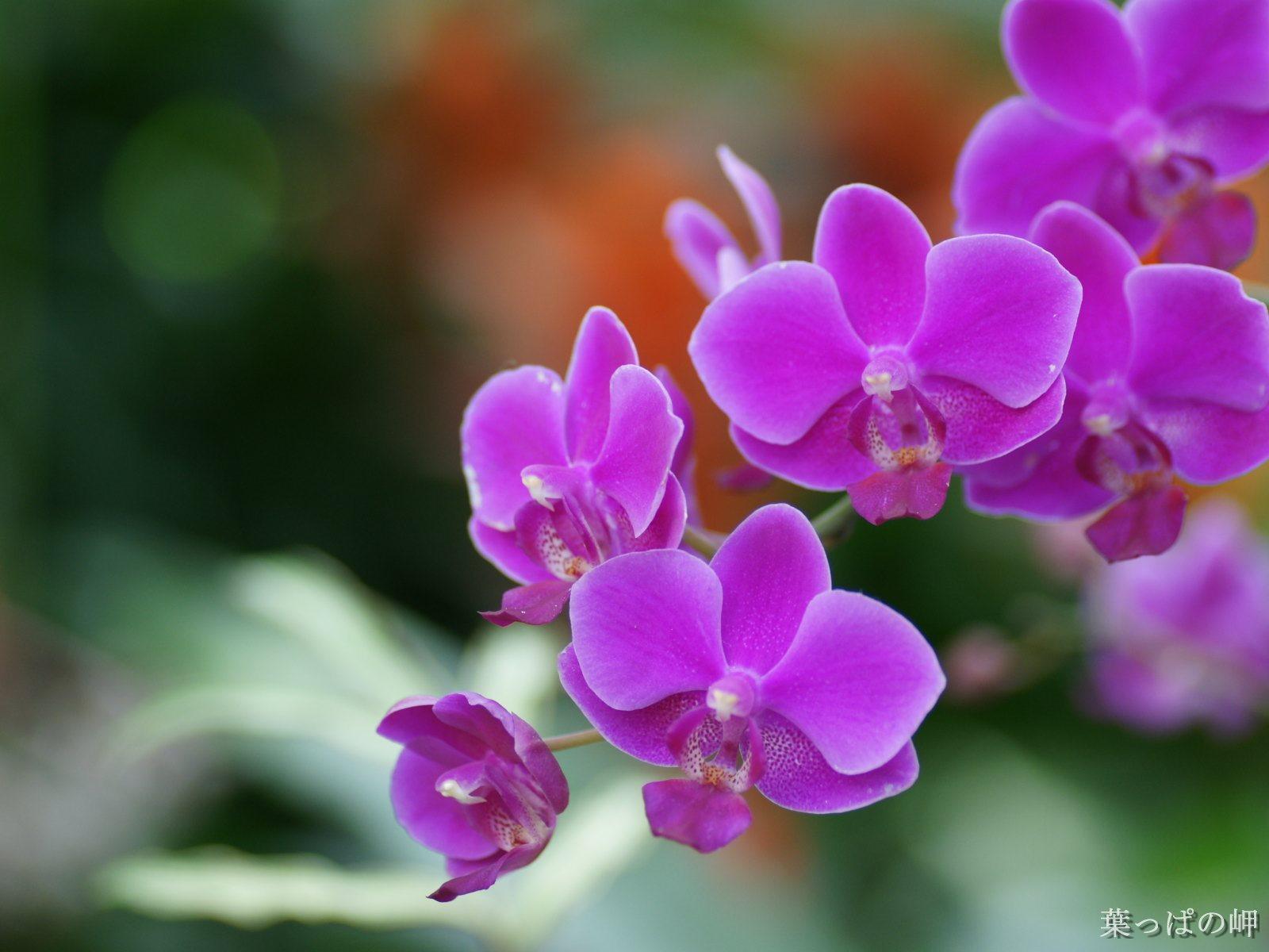 Hoa lan tím đẹp ơi là đẹp