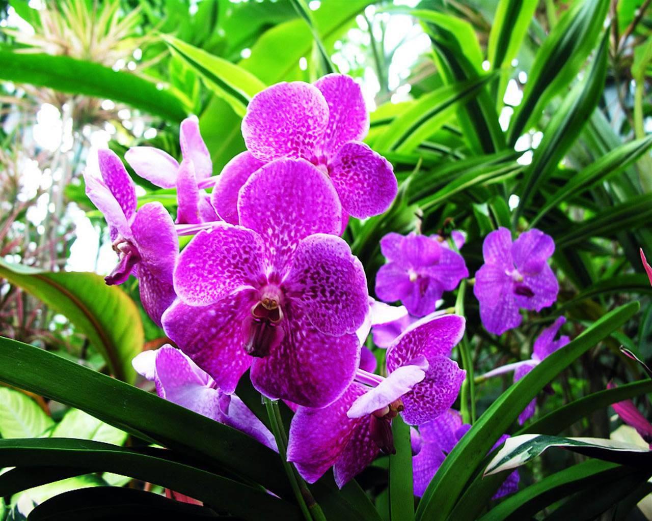 Hoa lan tím đẹp trồng trong vườn