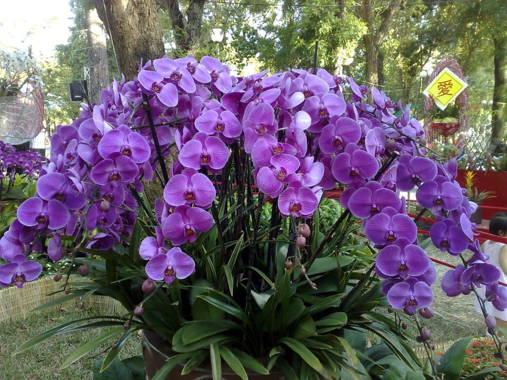 Hoa lan tím quý phái đẹp