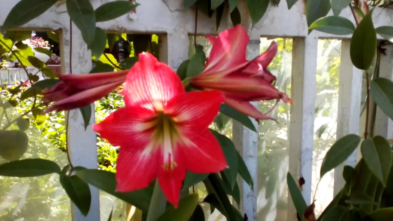 Hoa loa kèn đỏ đẹp mắt cực kỳ