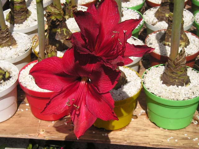 Hoa loa kèn đỏ thắm cực đẹp