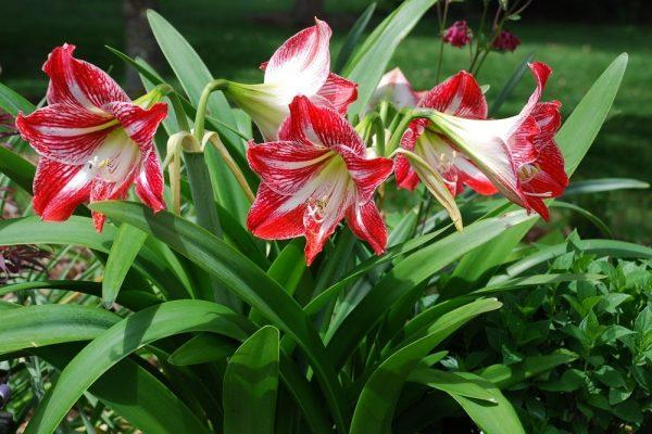 Hoa loa kèn đỏ trắng cực đẹp