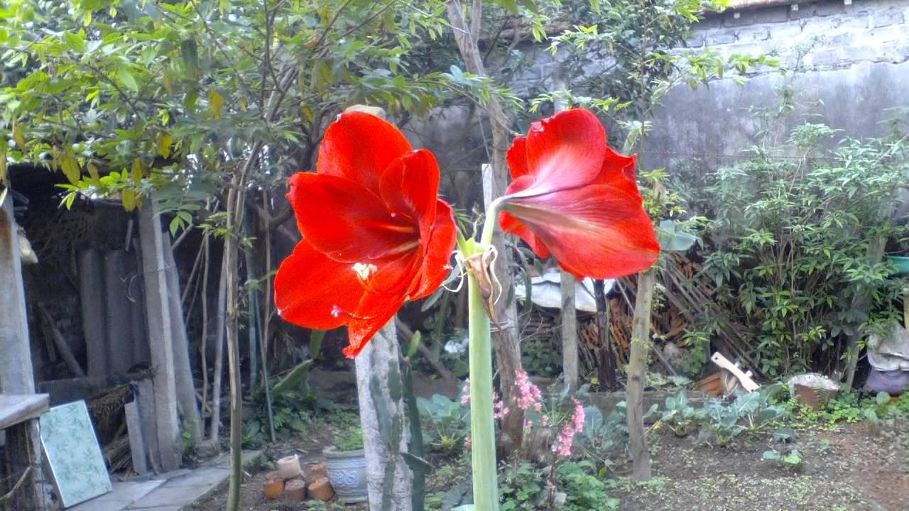 Hoa loa kèn đỏ trồng trong nhà