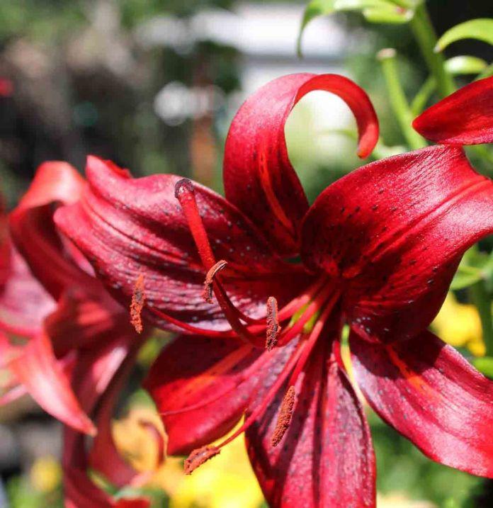 Hoa loa kèn khoe sắc dưới nắng cực đẹp