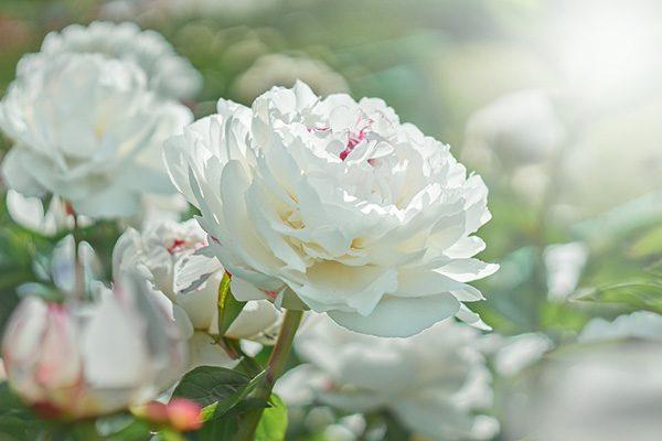 Hoa mẫu đơn trắng cực đẹp