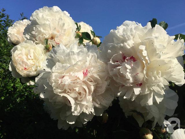 Hoa mẫu đơn trắng dưới nắng cực đẹp