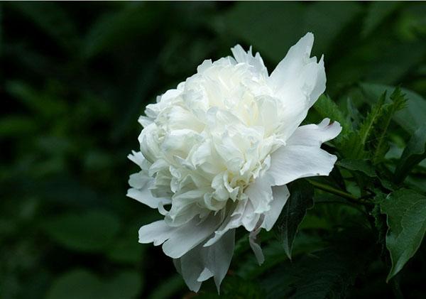 Hoa mẫu đơn trắng nghiêng mình xinh đẹp