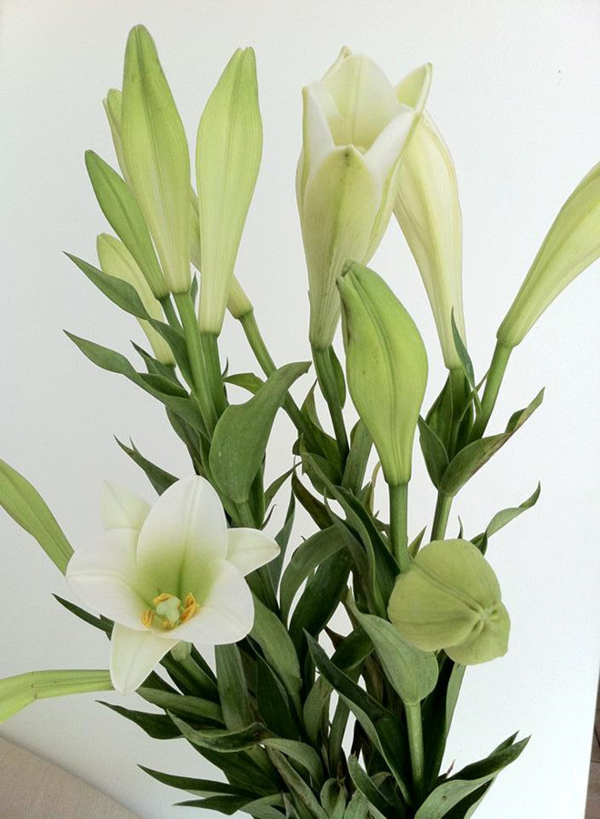 Những bông hoa huệ chưa nở xinh đẹp