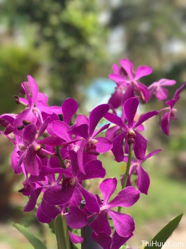Những bông hoa lan tím đẹp