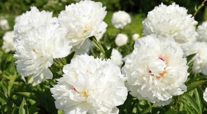 Những bông hoa mẫu đơn trắng cực kỳ đẹp mắt
