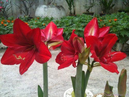 Những cây hoa loa kèn đỏ cực đẹp