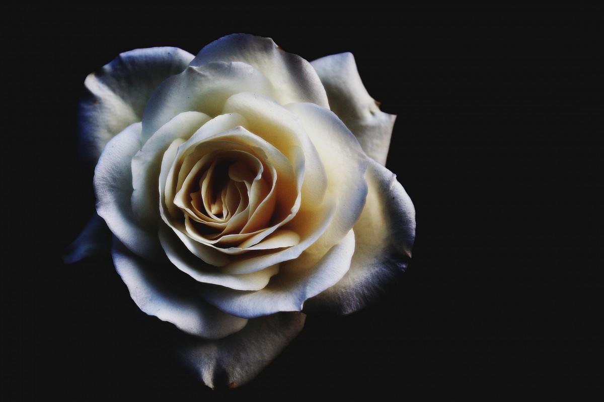 Ảnh chụp nghệ thuật hoa hồng trắng cực đẹp