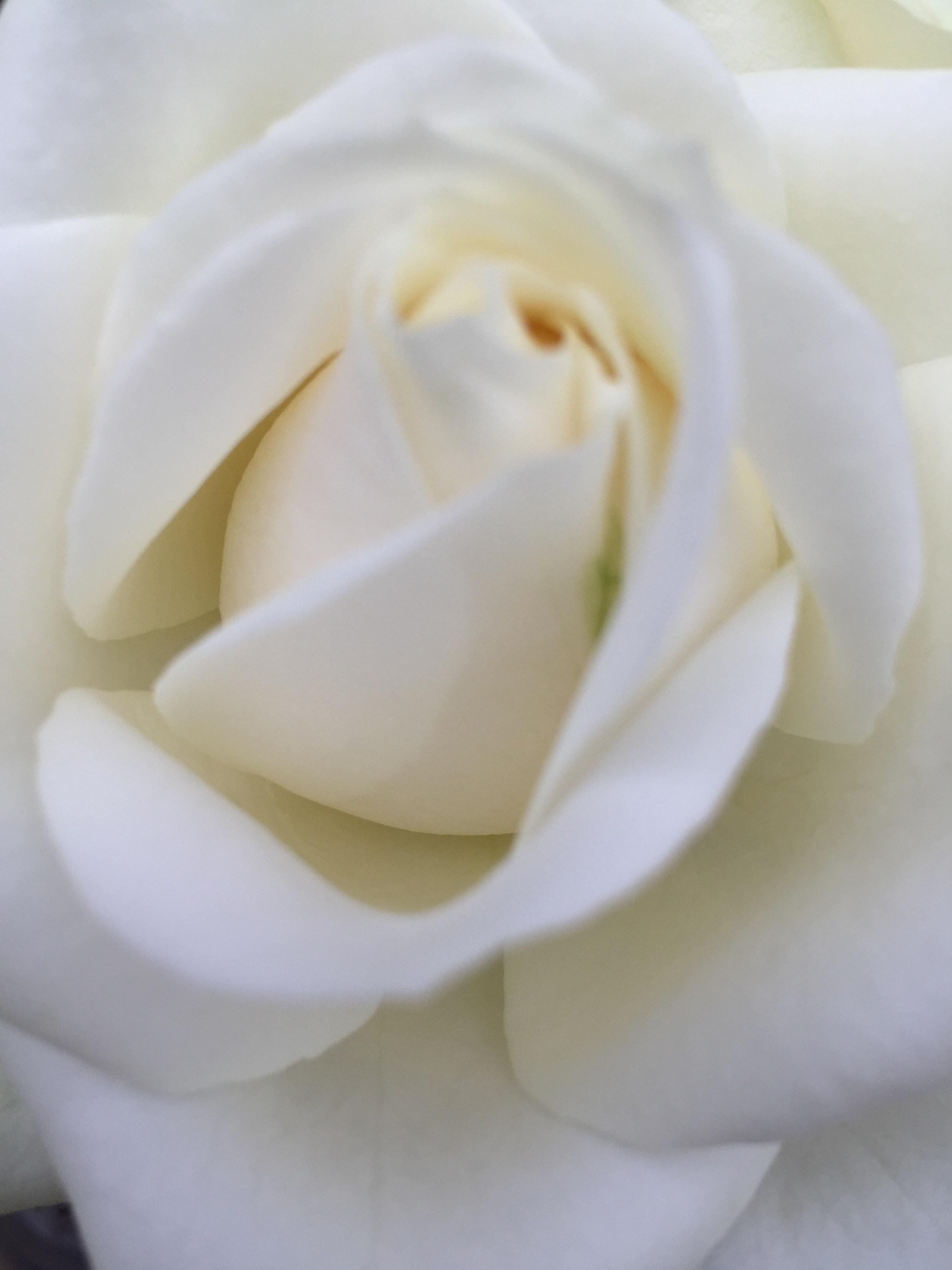 Ảnh sát cận cảnh hoa hồng trắng cực kỳ đẹp