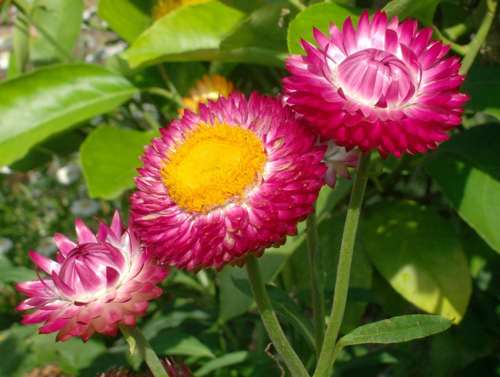Ba bông hoa bất tử hồng cực xinh