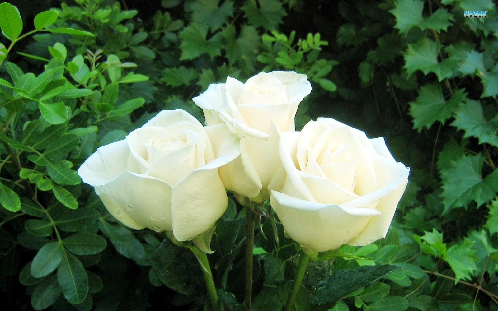 Ba bông hồng trắng cực hút mắt