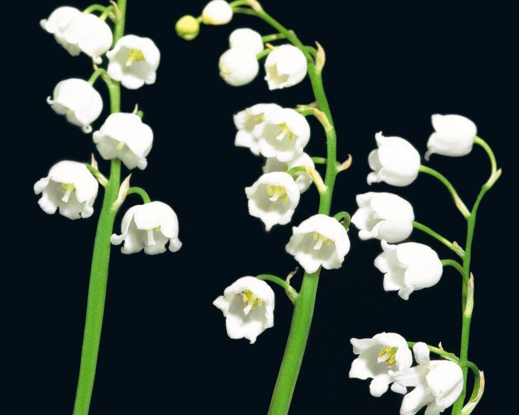 Ba cành hoa lan chuông trắng cực đẹp