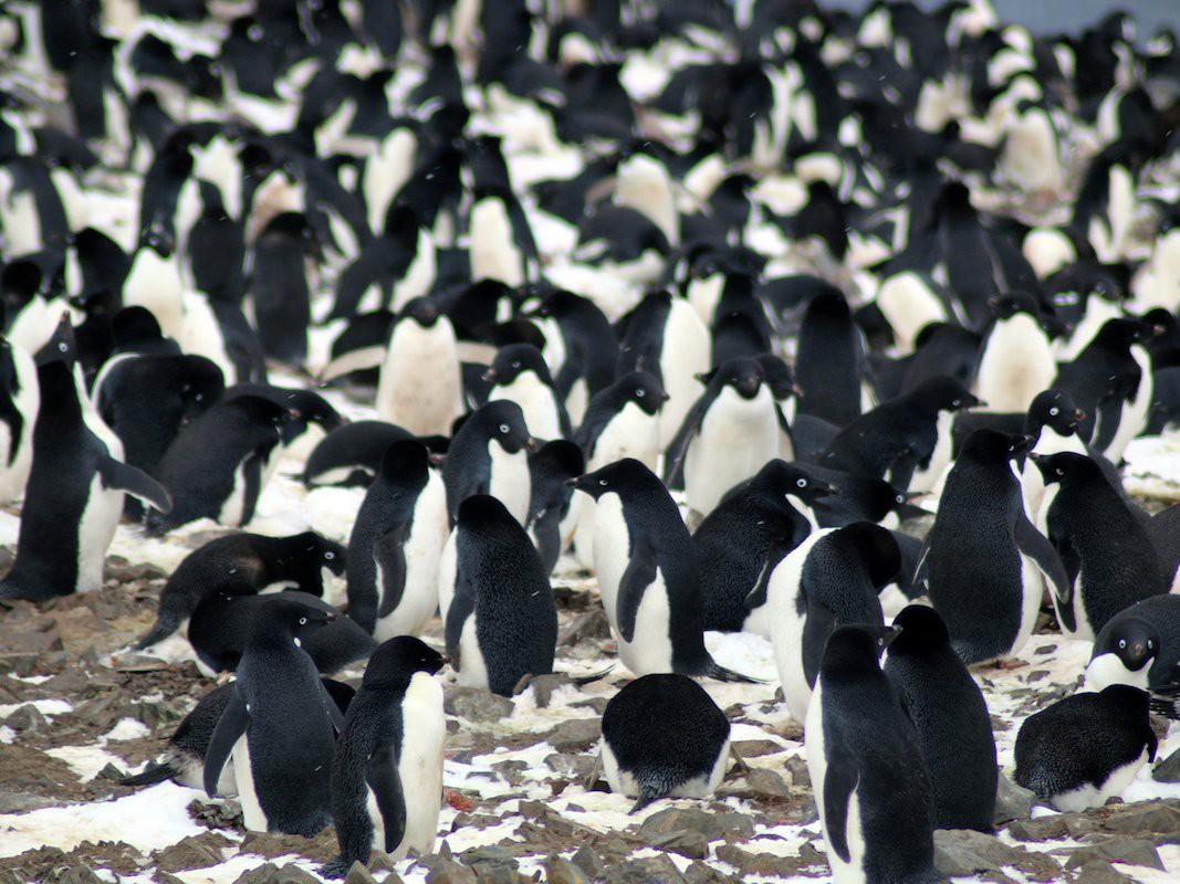 Bầy chim cánh cụt đông nghìn nghịt