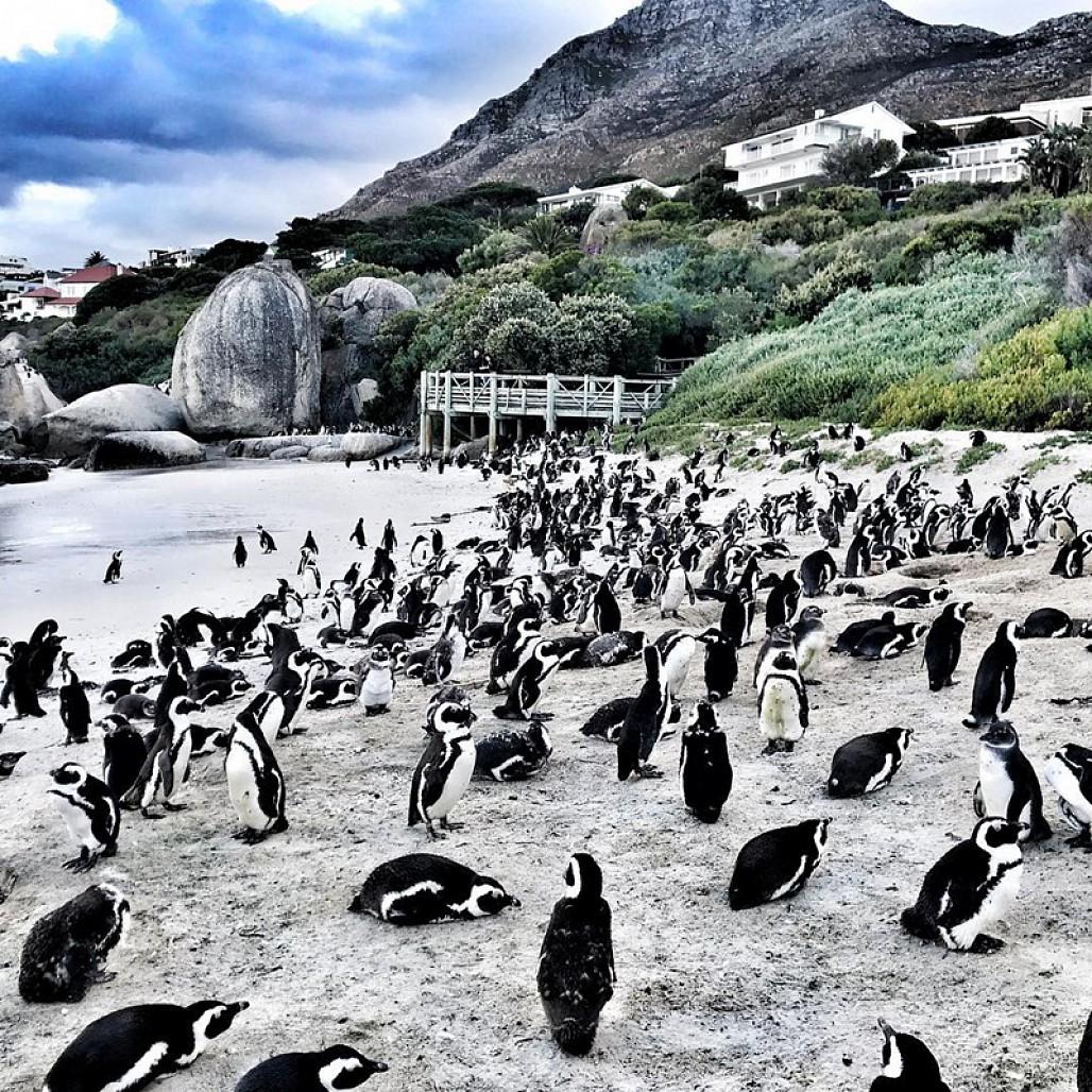 Bầy chim cánh cụt ở bãi biển Boulders