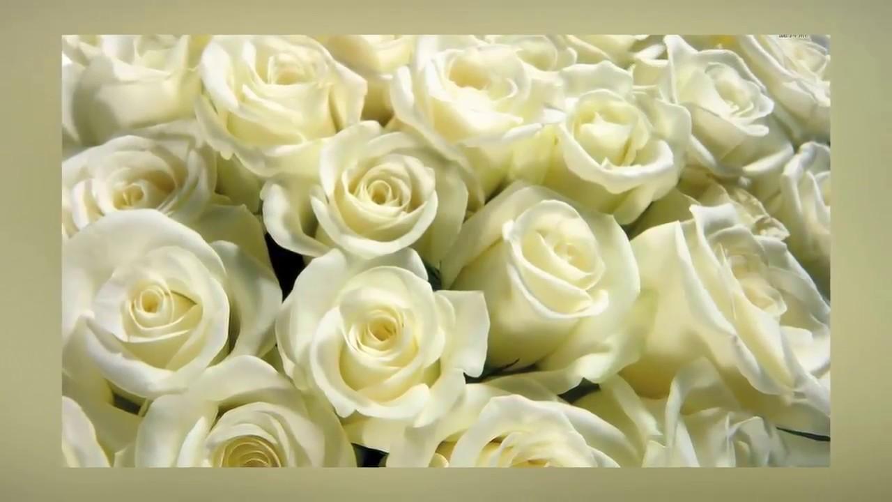 Biển hoa hồng trắng xếp san sát nhau