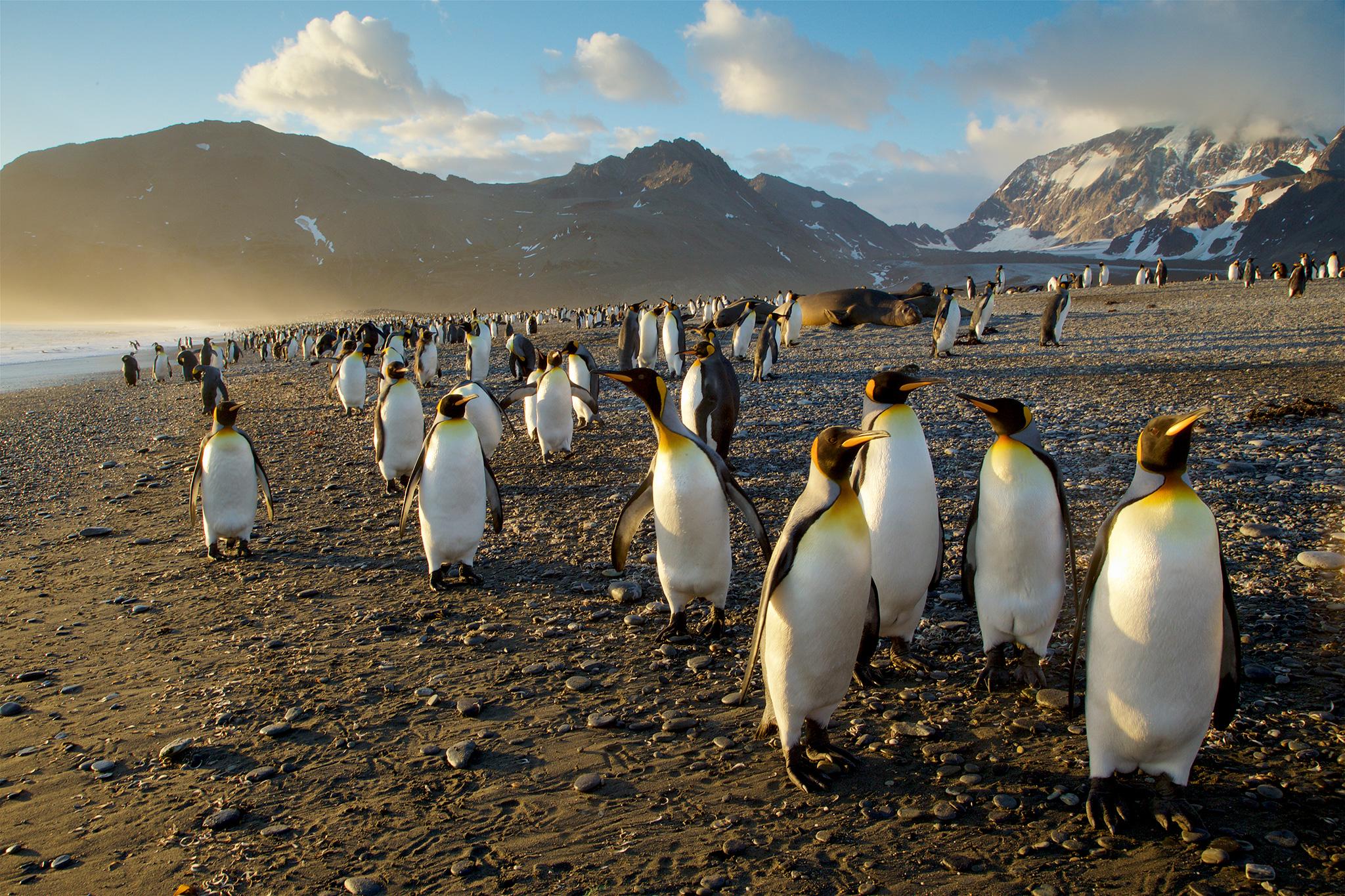 Bờ biển với những chu schim cánh cụt hoàng đế