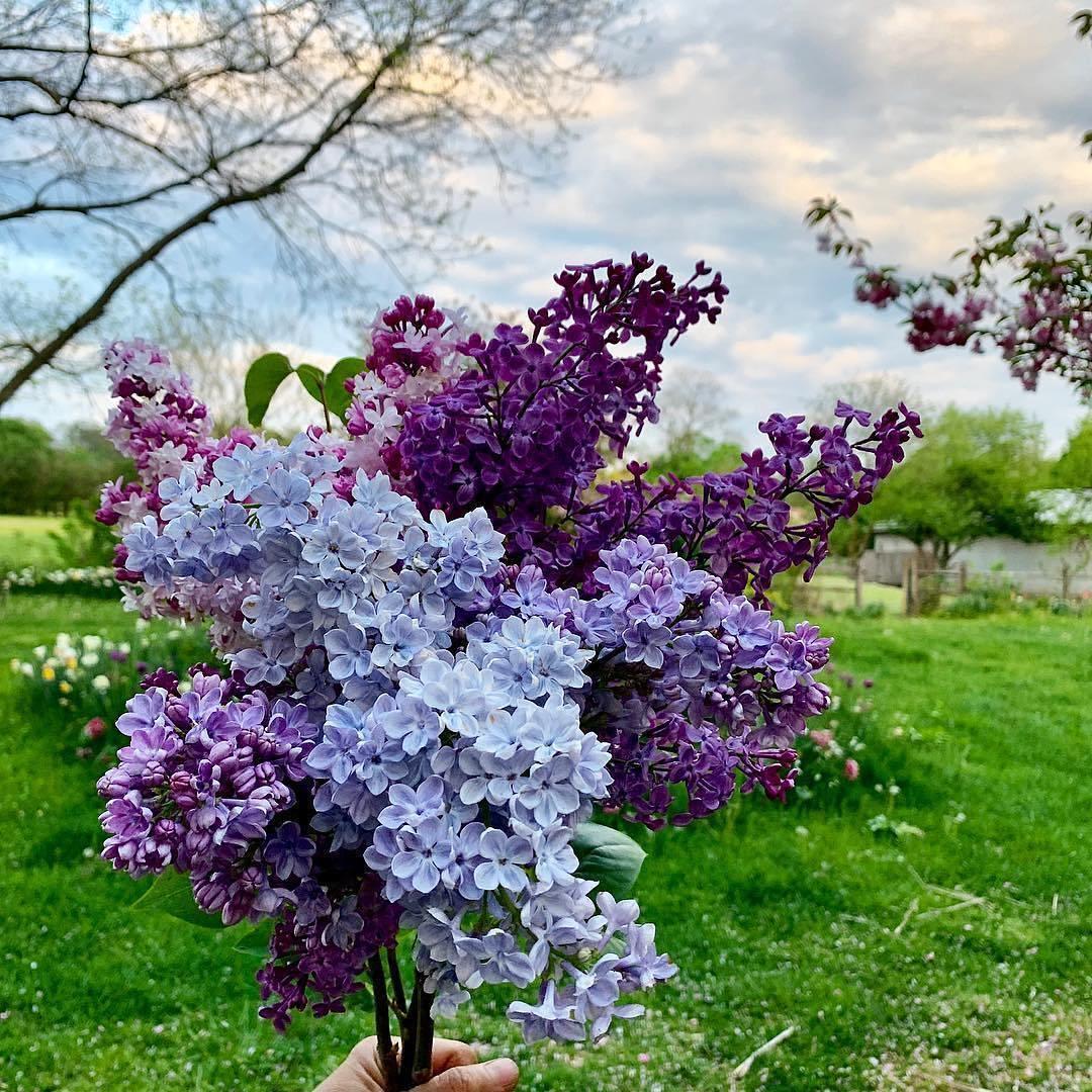 Bó hoa tử đinh hương đẹp