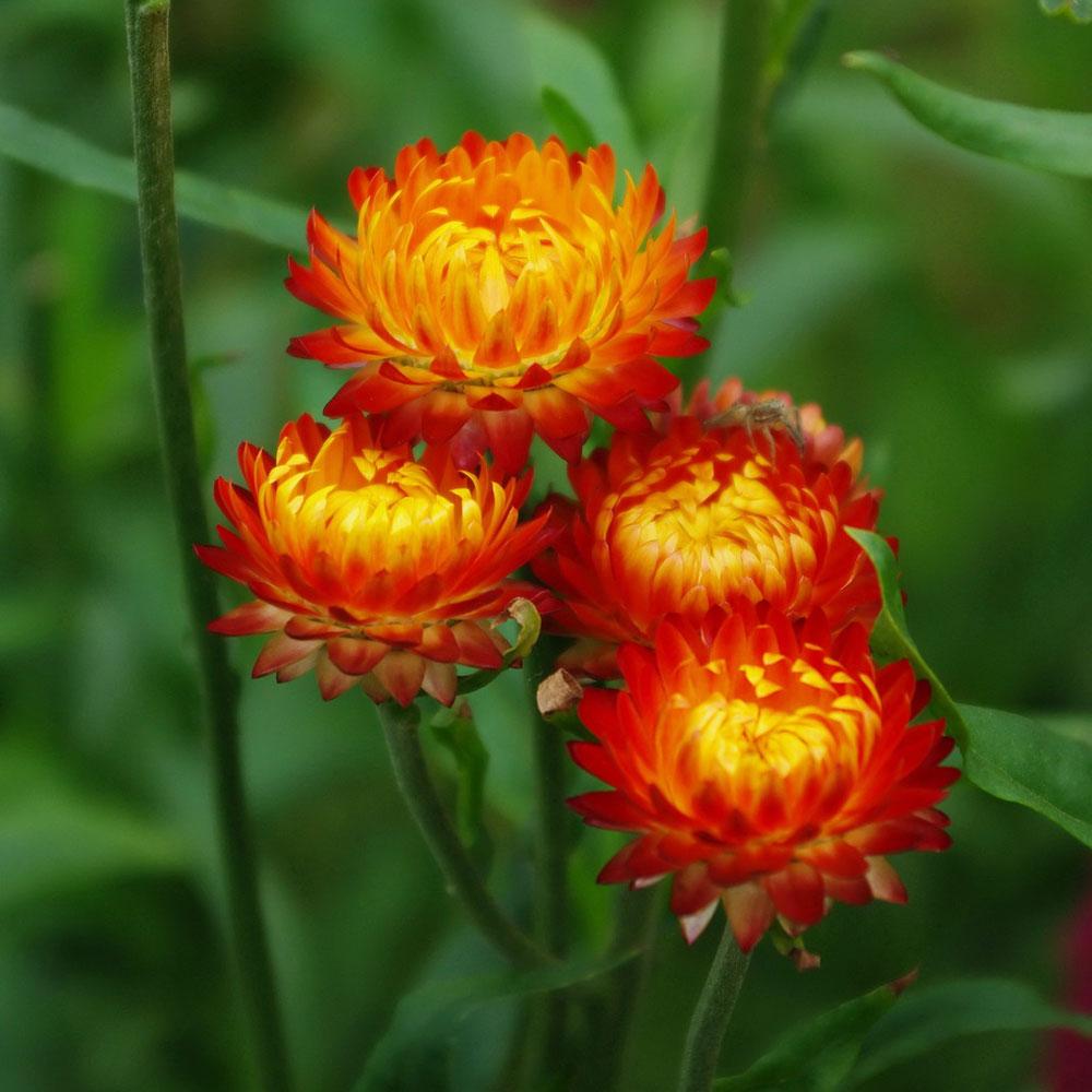 Bốn bông hoa bất tử cực đẹp