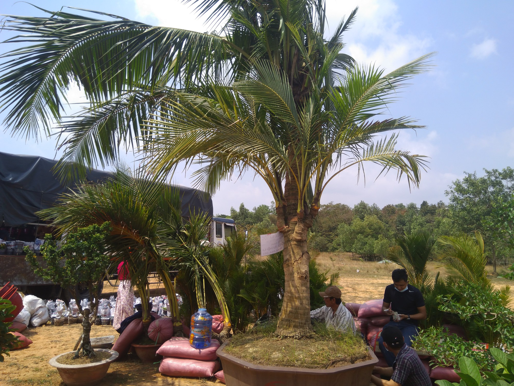 Bồn cây dừa cảnh đẹp