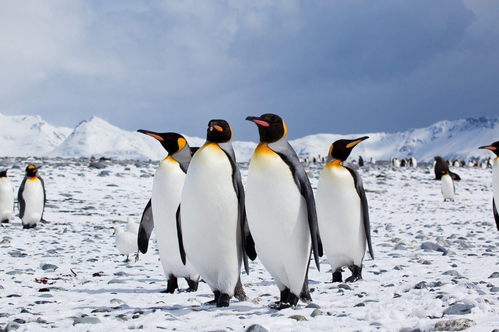Bốn chú chim cánh cụt nghênh ngang đi giữa đường