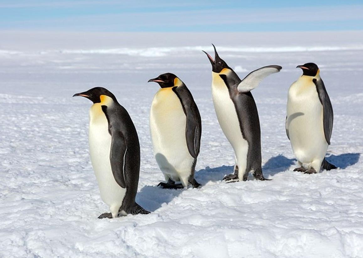 Bốn con chim cánh cụt hoàng đế đứng trên băng tuyết