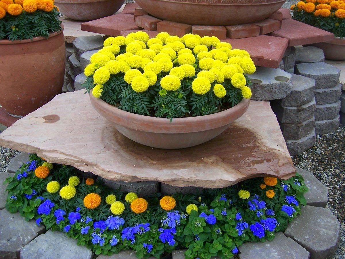 Bồn hoa cúc vạn thọ màu vàng