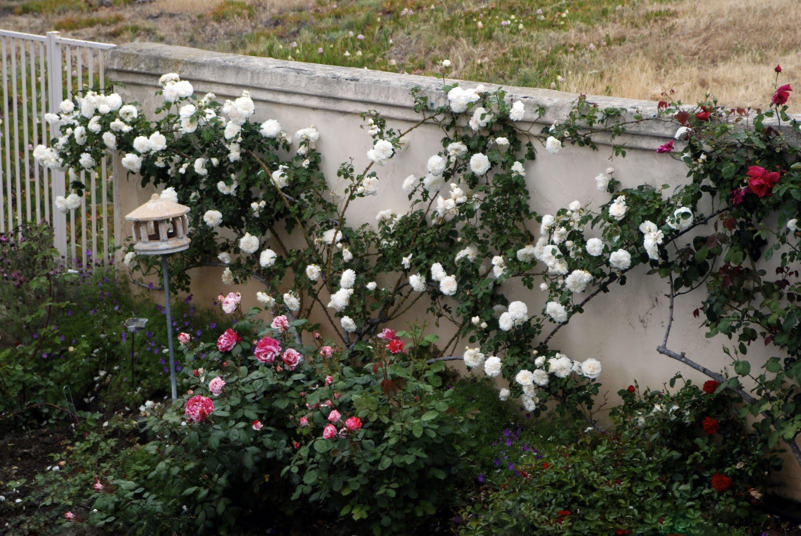 Bồn hoa hồng trắng ở tường nhà