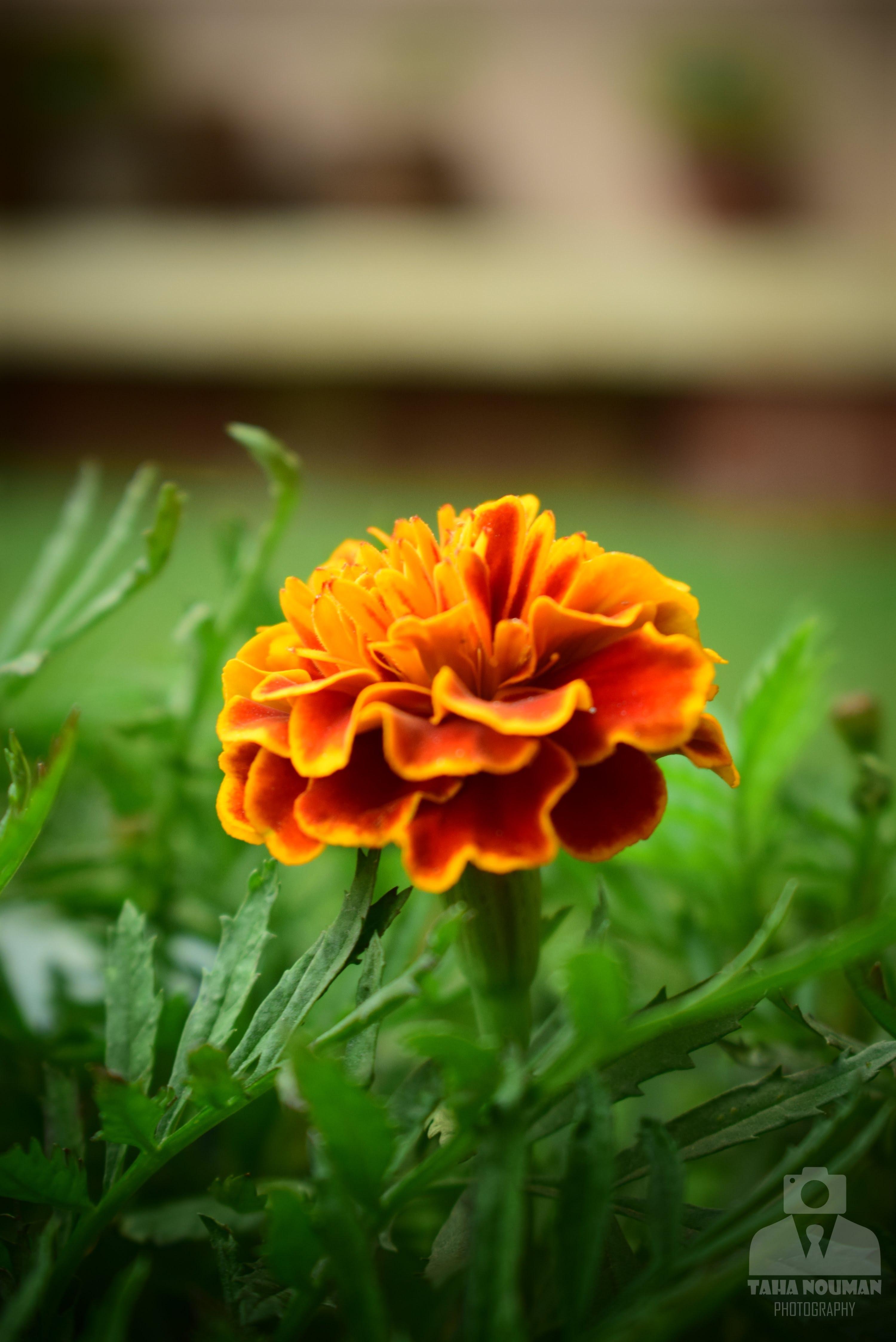 Bông hoa cúc vạn thọ cực đẹp