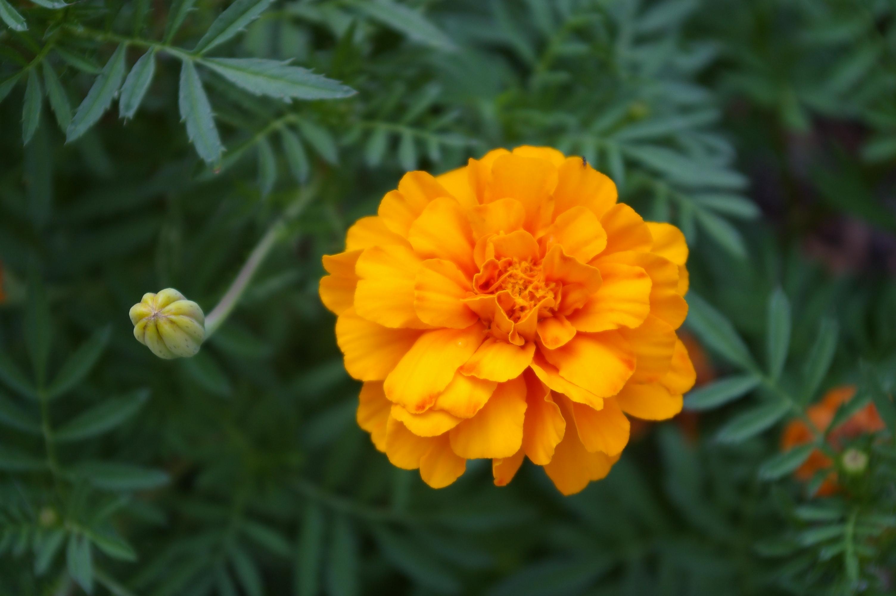 Bông hoa cúc vạn thọ màu cam đẹp