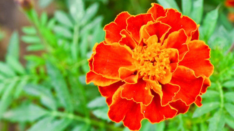 Bông hoa cúc vạn thọ màu cam viền vàng cực đẹp
