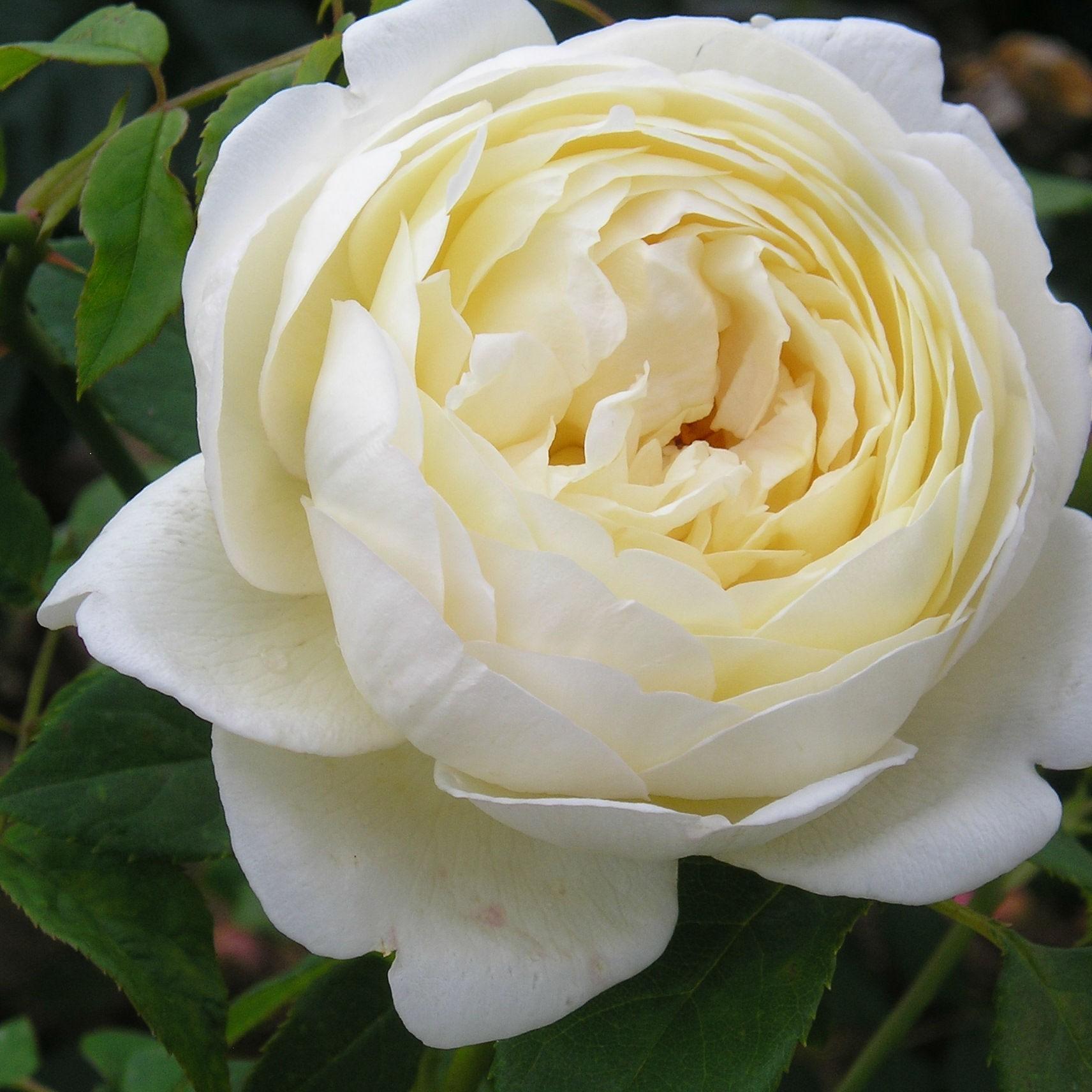Bông hoa hồng trắng có rất nhiều lớp cánh hoa