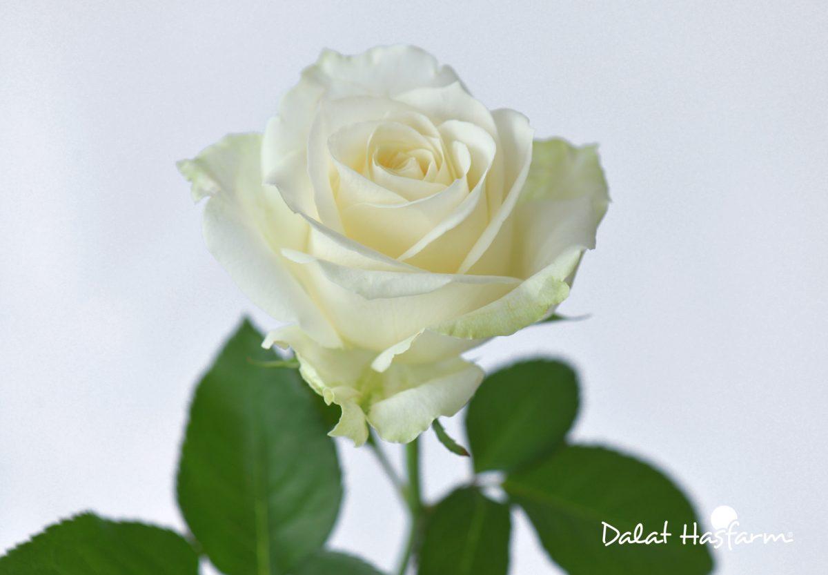 Bông hoa hồng trắng cực đẹp