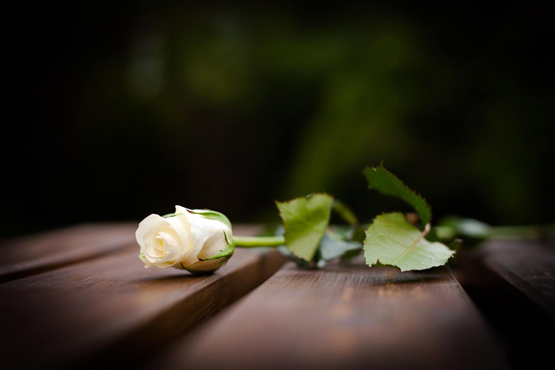 Bông hoa hồng trắng trên ghế