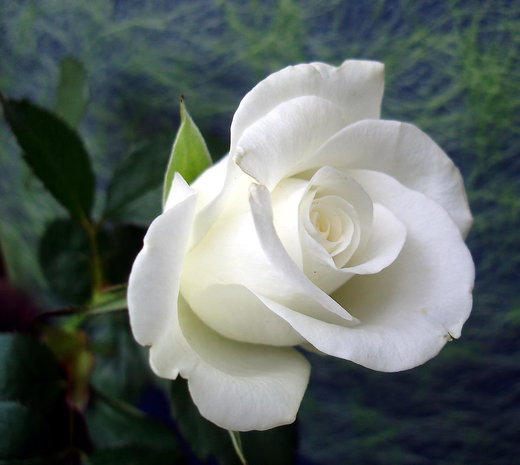 Bông hoa hồng trắng tượng trưng cho tình yêu và sự vĩnh cửu
