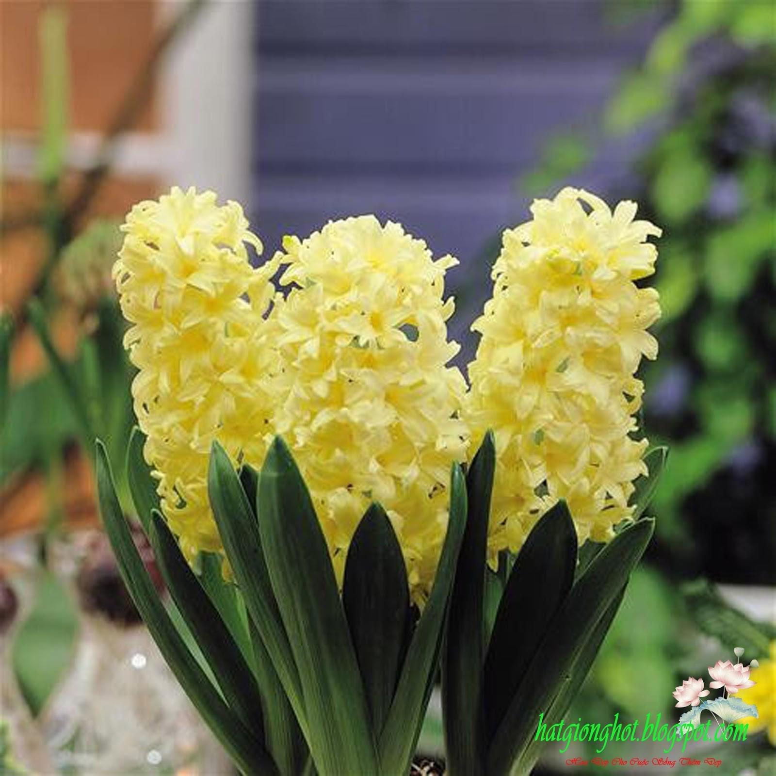 Bông hoa tiên ông vàng xinh