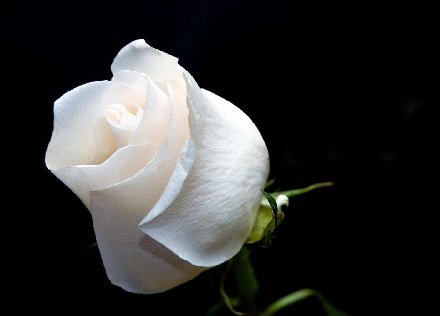 Bông hồng trắng mới nở cực đẹp