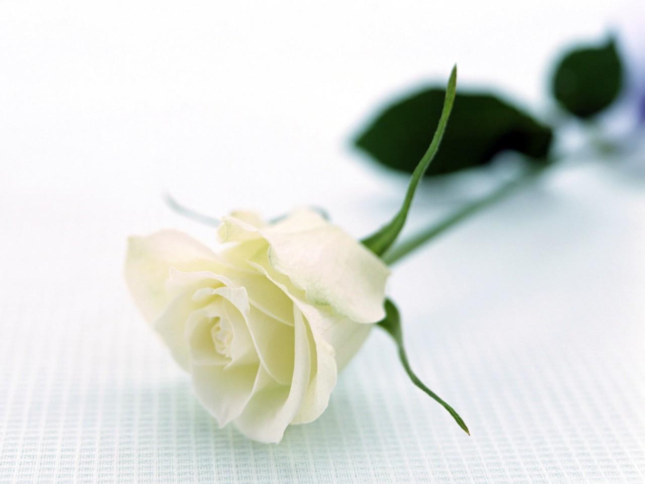 Bông hồng trắng nằm nghiêng