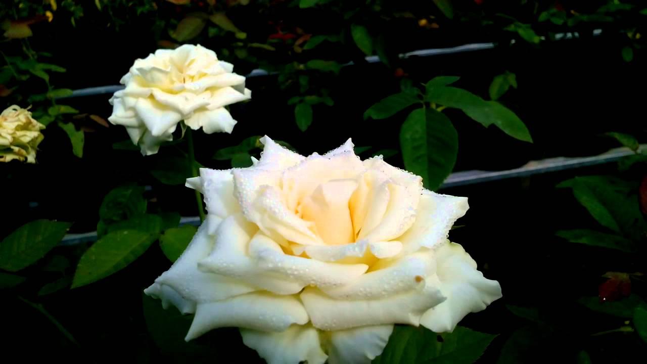 Bông hồng trắng trồng ngoài vườn cực đẹp