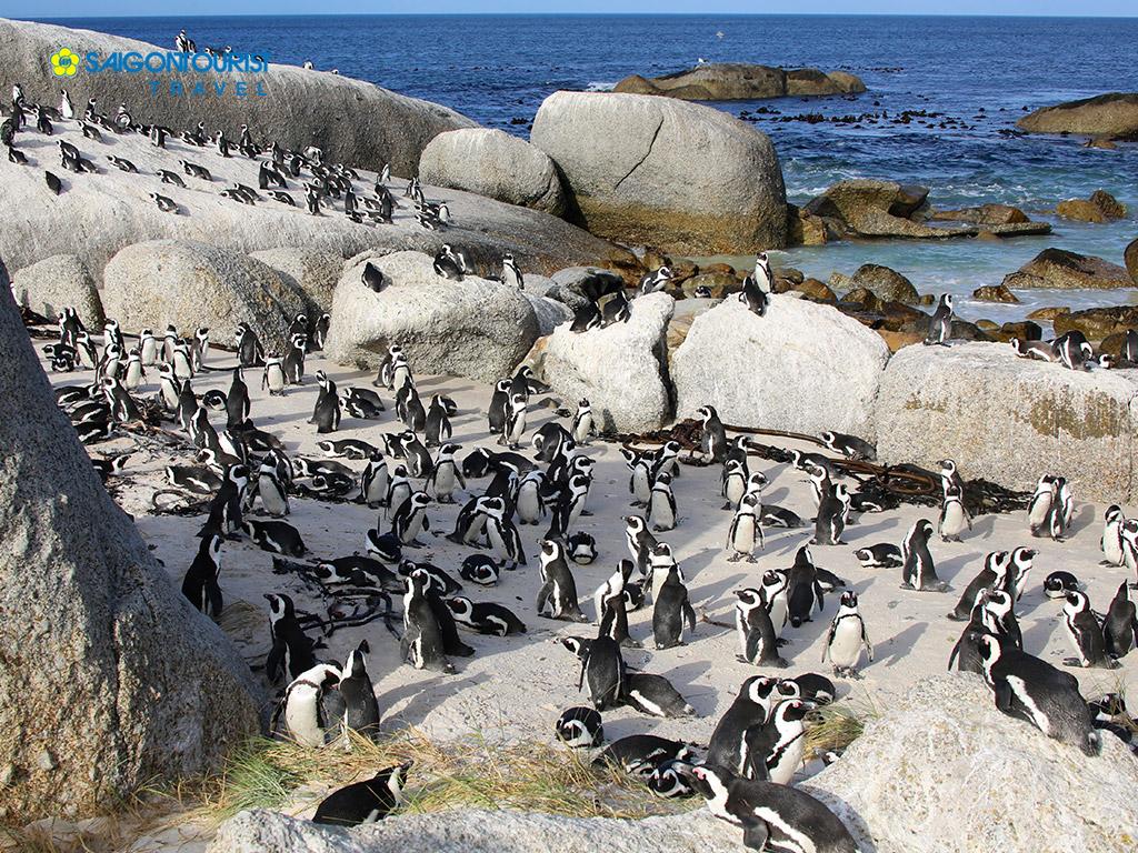 Cả một bầy chim cánh cụt trên bãi biển