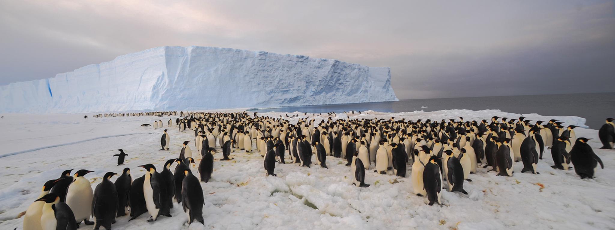 Cả một bầy chim cánh cụt trển biển băng